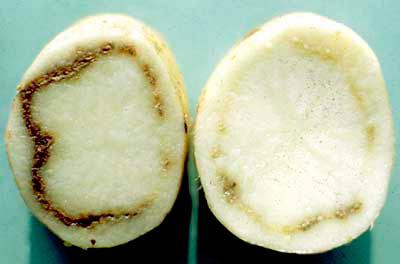 Кольцевая гниль картофеля - Clavibacter michiganensis фото