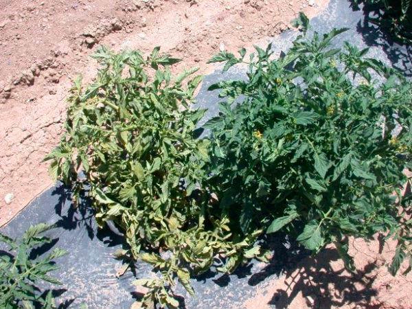 Кустистость верхушки томата фото (больное растение рядом со здоровым)