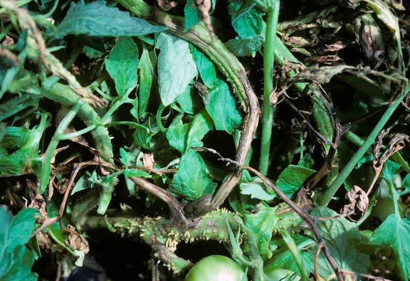 Некроз сердцевины стебля томата