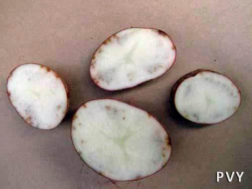 Полосчатая мозаика картофеля (проявление на клубнях) фото