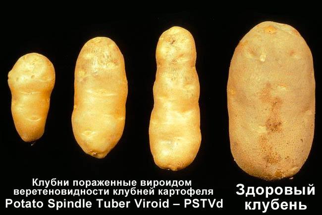 Веретеновидность клубней картофеля фото