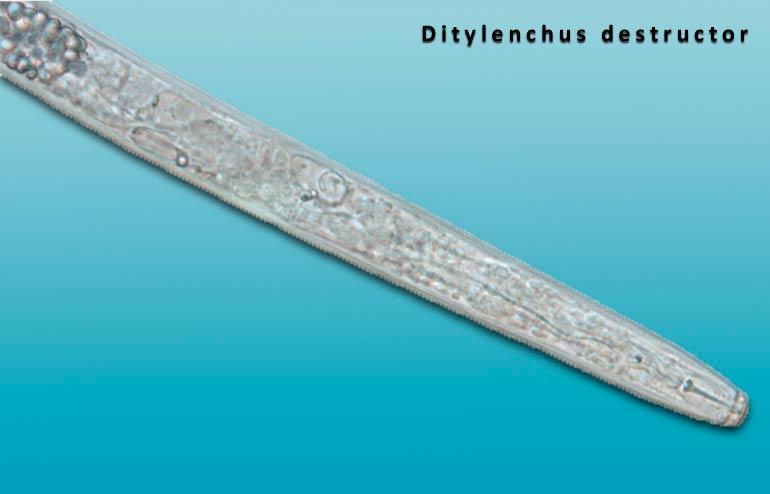 Стеблевая картофельная нематода - Ditylenchiis destructor фото