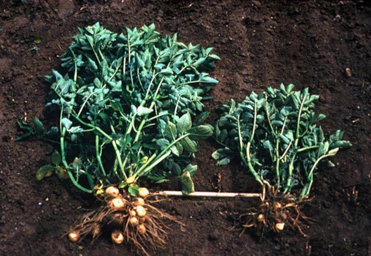Пораженное растение картофеля золотистой нематодой и здоровое растение фото