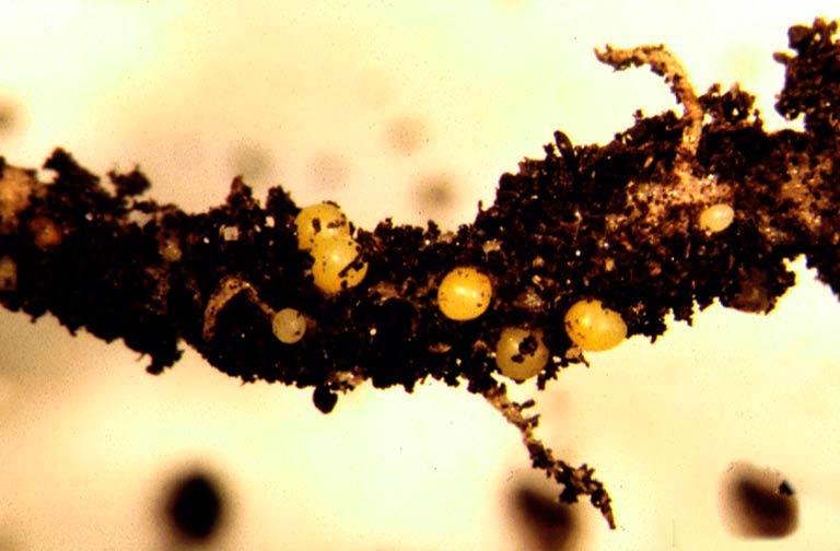Цисты картофельной золотистой нематоды - Heterodera rostochiensis фото