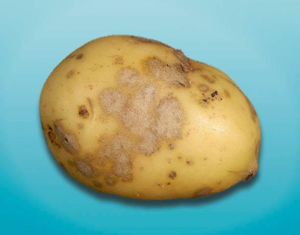 Серебристая парша картофеля - Spondylo cladium atrovirens фото