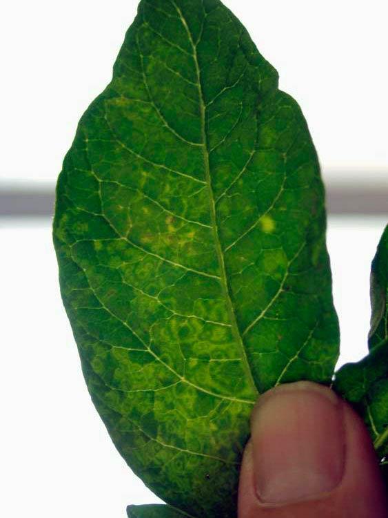 Некроз клубней картофеля (симптомы на листе) - Tobacco rattle virus (TRV)