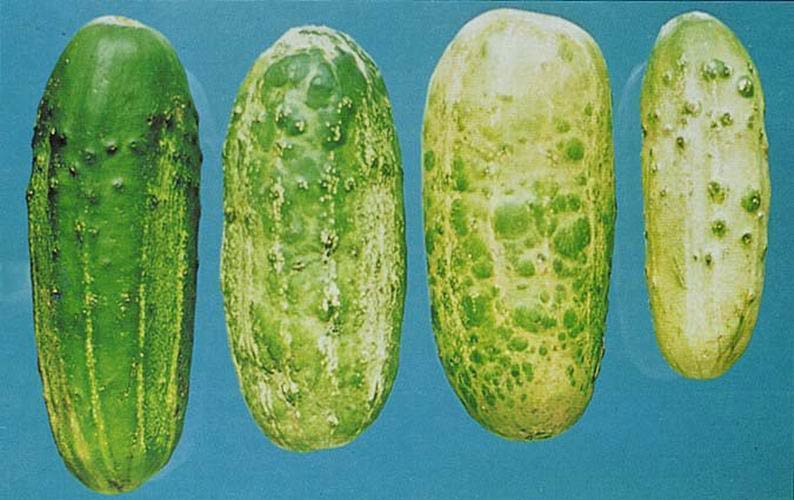 Обыкновенная мозаика огурца (пораженные плоды) фото