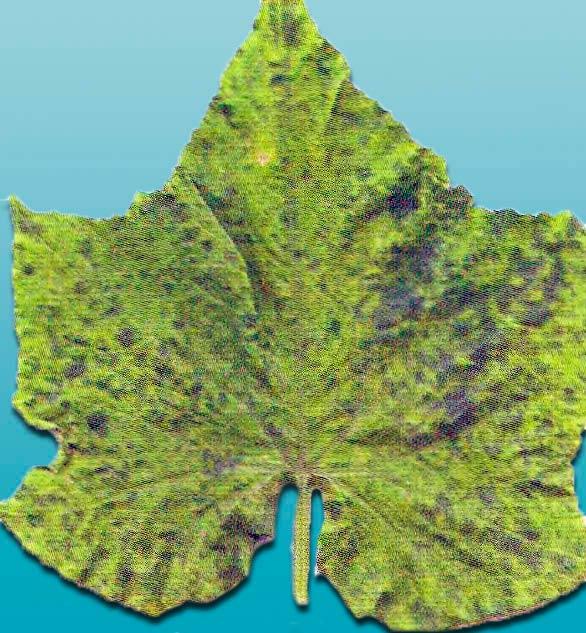 Обыкновенная мозаика огурца фото