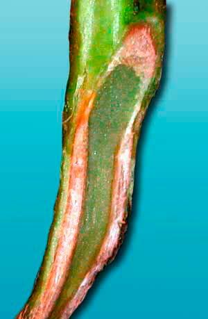 Стебель томата пораженный вертициллезом
