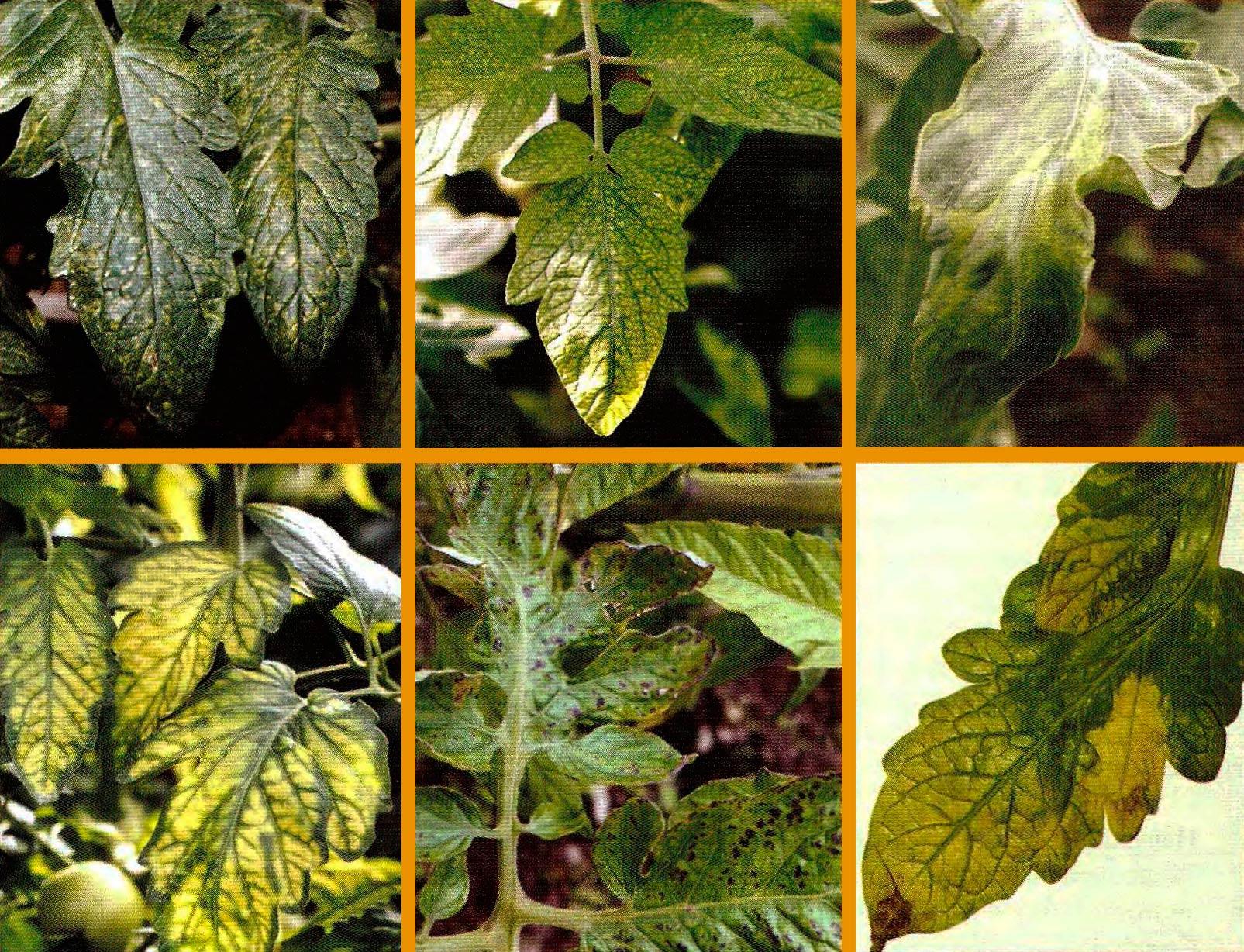 Симптомы дефицита минеральных элементов на томатах фото