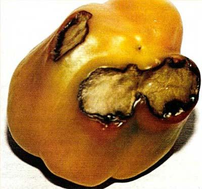 Люцерновая мозаика перца (пораженный плод)