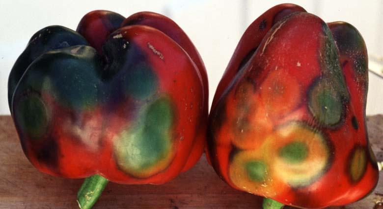 Перец пораженный вирусом бронзовости томата