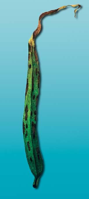 Линейный бактериоз ячменя - Xanthomonas translucens v. hordei