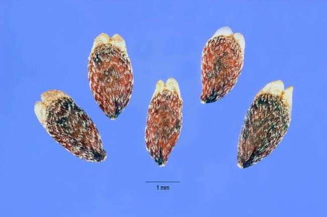 Аксирис щирицевый — Axyris amaranthoides