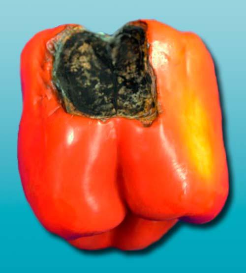Альтернариоз сладкого перца (пораженный плод) - Alternaria solani