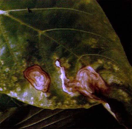 Альтернариоз сладкого перца (пораженный лист) - Alternaria solani