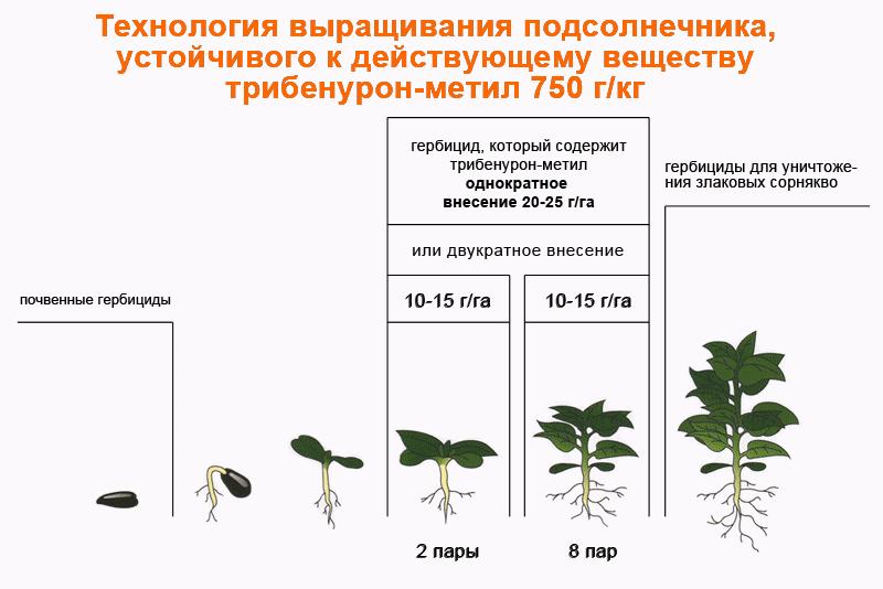 Схема внесения гербицидов на подсолнечнике, который устойчив к трибенурон-метил 750 г/кг