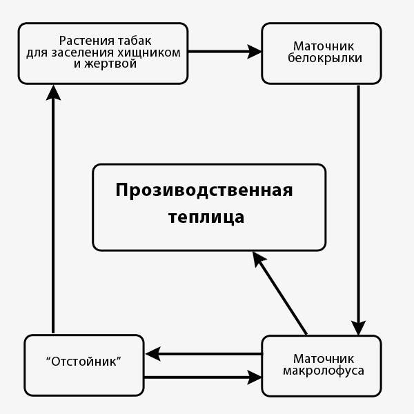 Схема массового разведения макролофуса на тепличной белокрылке