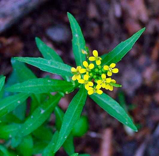 Желтушник левкойный (лакфиолевый) — Erusimum cherianthoides
