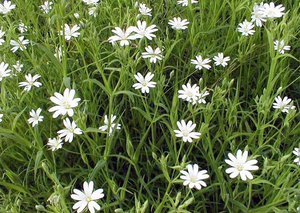 Пьяная трава - Stellaria graminea