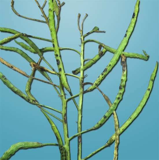 Альтернариоз рапса Alternaria brassicae