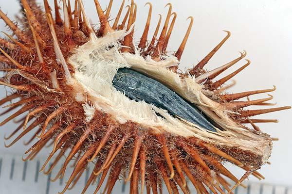 Соплодие дурнишника обыкновенного — Xanthium strumarium