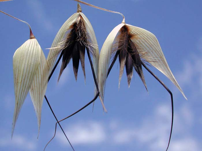 Семена овсюга фото