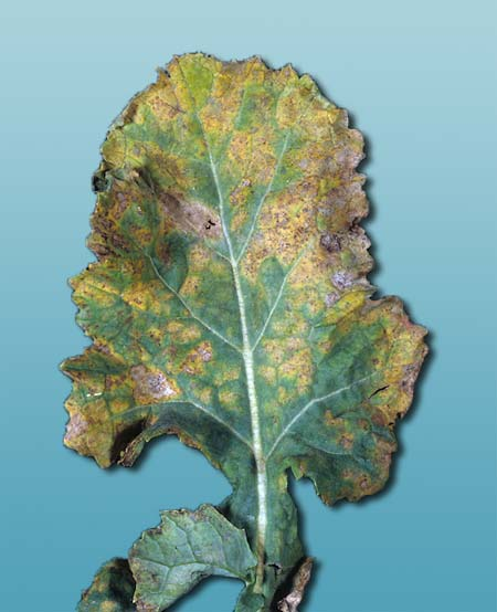 Ложная мучнистая роса рапса - Peronospora parasitica
