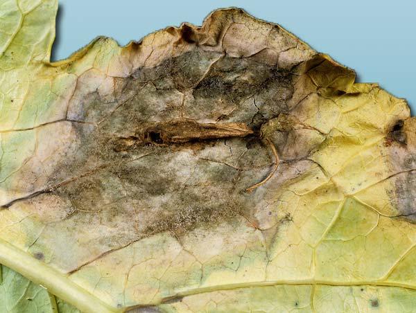 Серая гниль рапса Botrytis cinerea