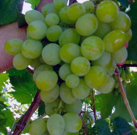 Виноград Агадаи фото