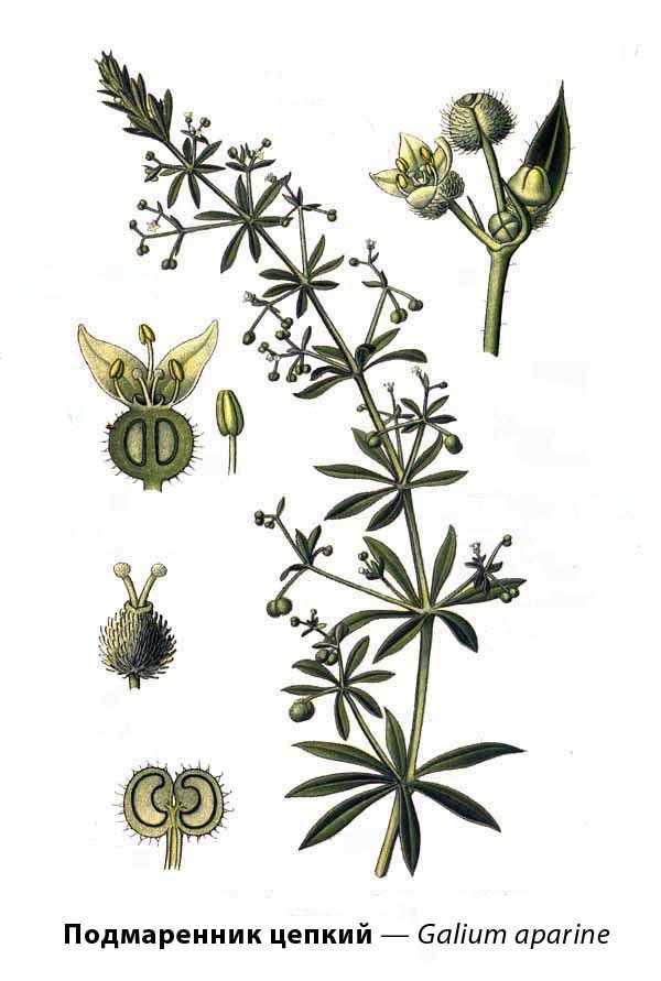 Подмаренник цепкий — Galium aparine