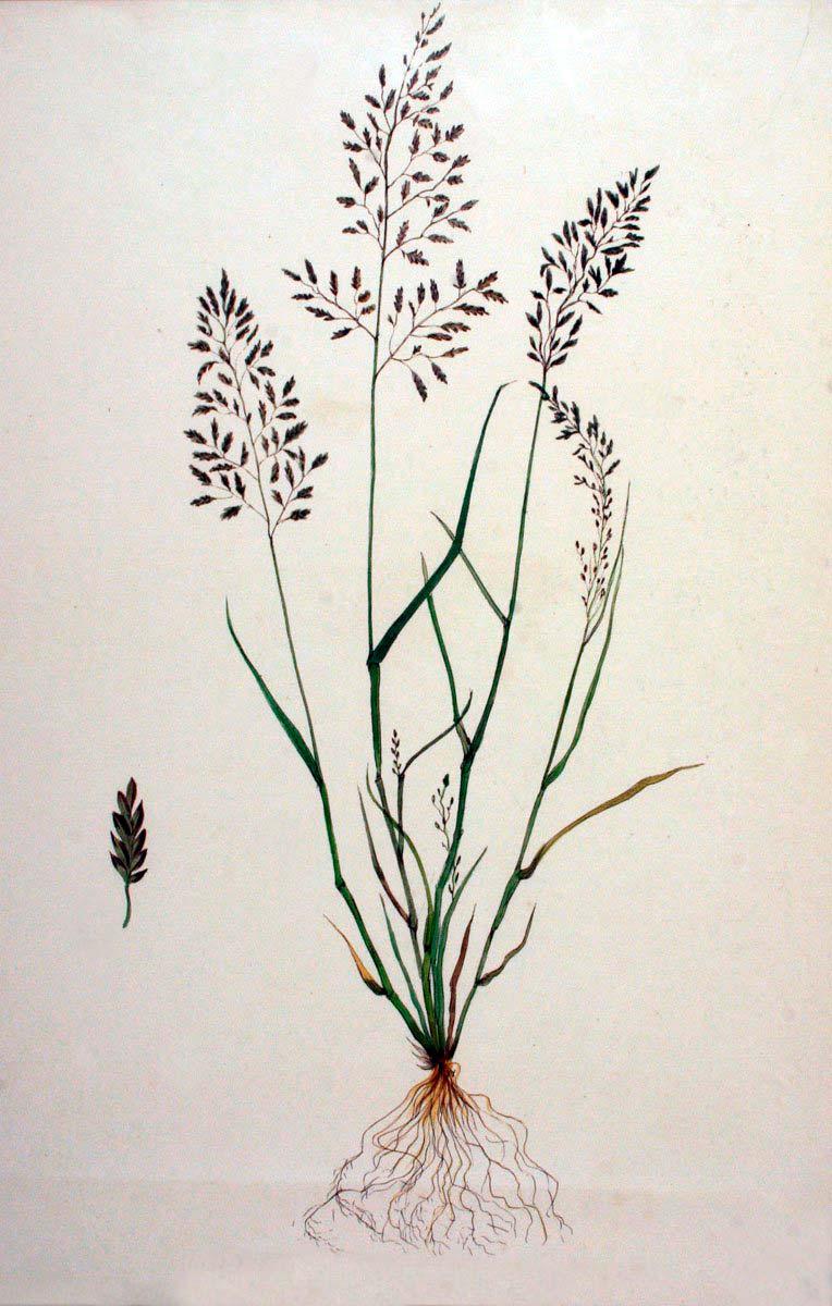 Полевичка малая — Eragrostis minor