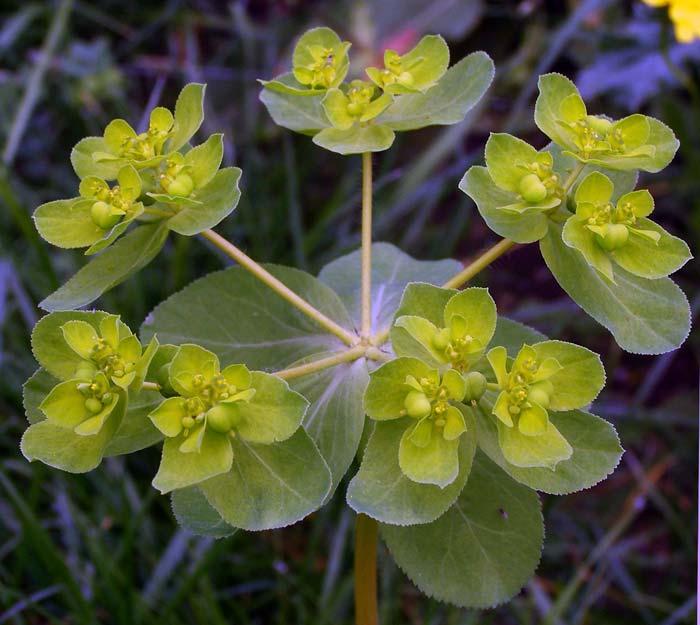 Молочай солнцегляд — Euphorbia helioscopia