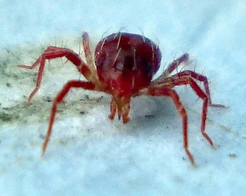 Фитосейулюс хищный клещ – Phytoseiulus persimilis