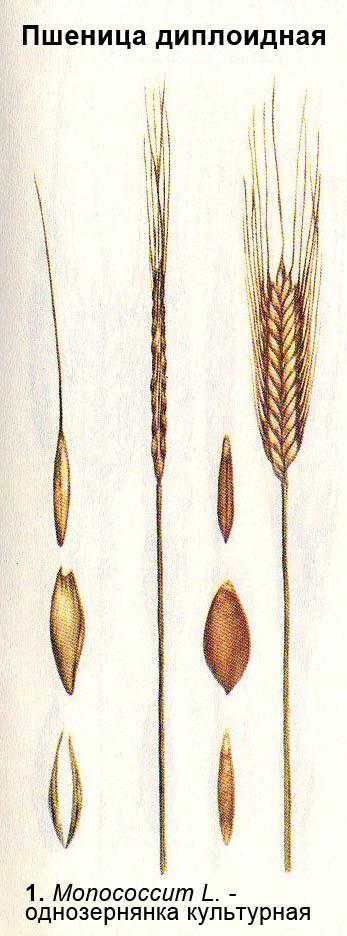 Пшеница диплоидная - Monococcum L. - однозернянка культурная
