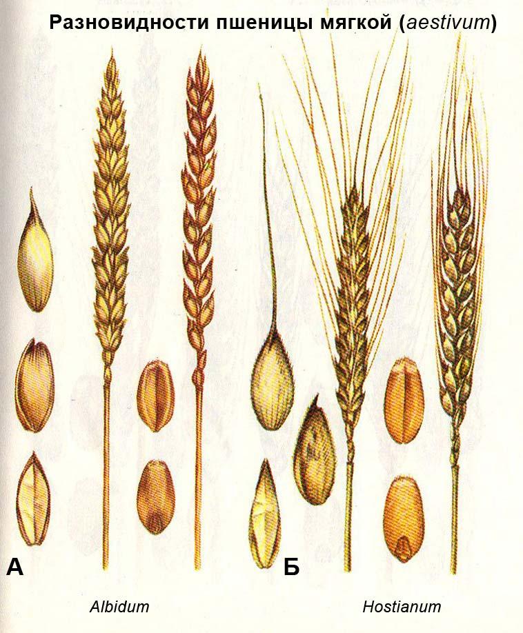 Разновидности пшеницы мягкой (aestivum): А - Albidum; Б - Hostianum
