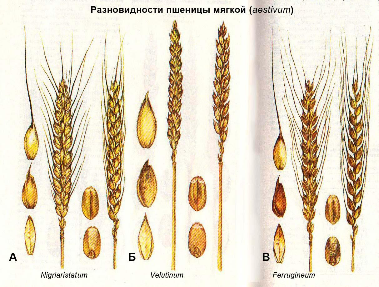 Разновидности пшеницы мягкой (aestivum): А - Nigriaristatum; Б - Velutinum; В - Ferrugineum