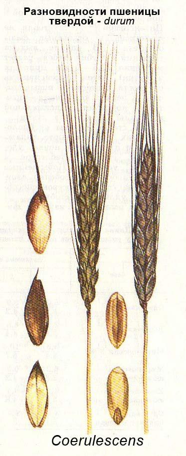 Разновидности пшеницы твердой (durum) - Coerulescens