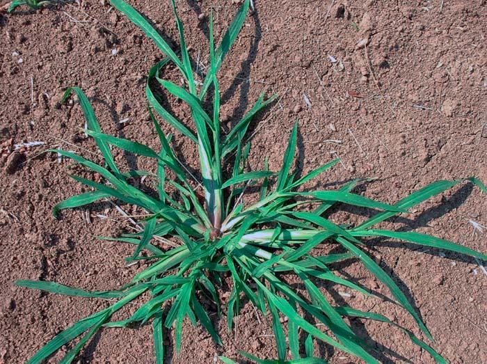 Росичка кроваво-красная — Digitaria sanguinalis