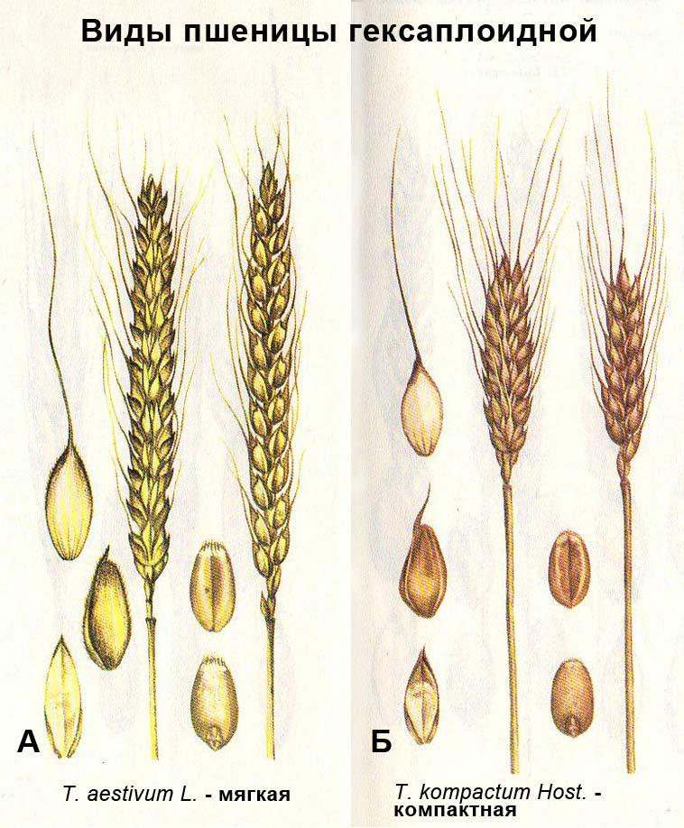 Виды пшеницы гексаплоидной: А - T. aestivum L. - мягкая; Б - T. kompactum Host. - компактная