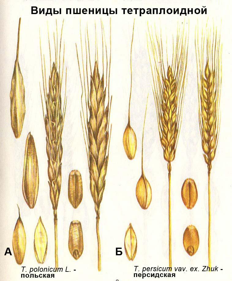 Виды пшеницы тетраплоидной: А - T. polonicum L. - польская; Б - T. persicum vav. ex. Zhuk - персидская