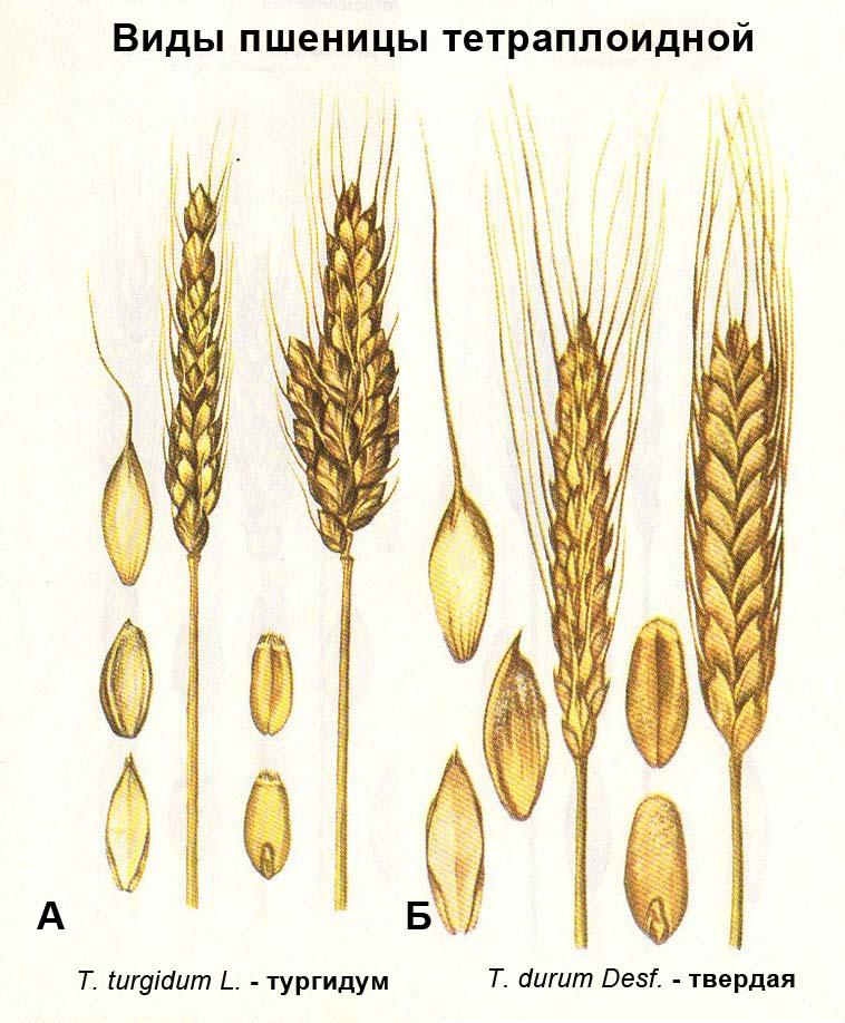 Виды пшеницы тетраплоидной: А - T. turgidum L. - тургидум; Б - T. durum Desf. - твердая