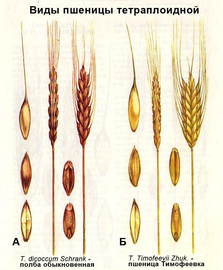 Виды пшеницы тетраплоидной: А - T. dicoccum Schrank - полба обыкновенная; Б - T. Timofeevii Zhuk. - пшеница Тимофеевка