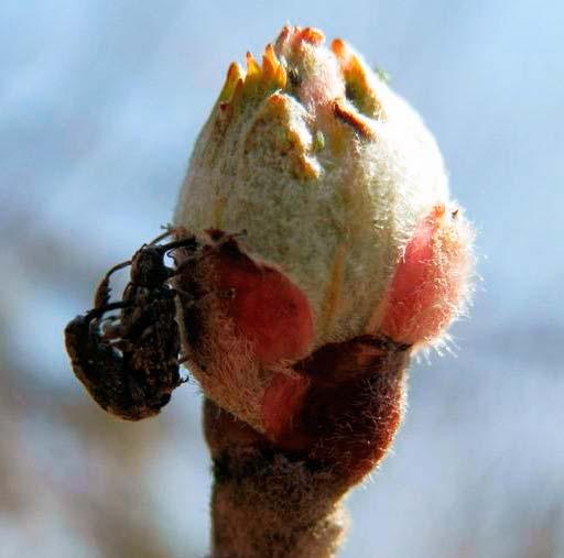 Яблонный цветоед - Anthonomus pomorum