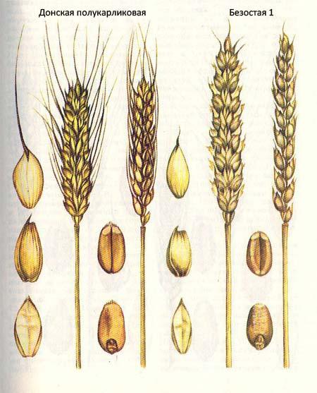 Короткостебельные сорта озимой пшеницы: Донская полукарликовая; Безостая 1