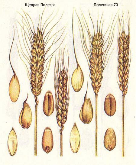 Короткостебельные сорта озимой пшеницы: Щедрая Полесья; Полесская 70
