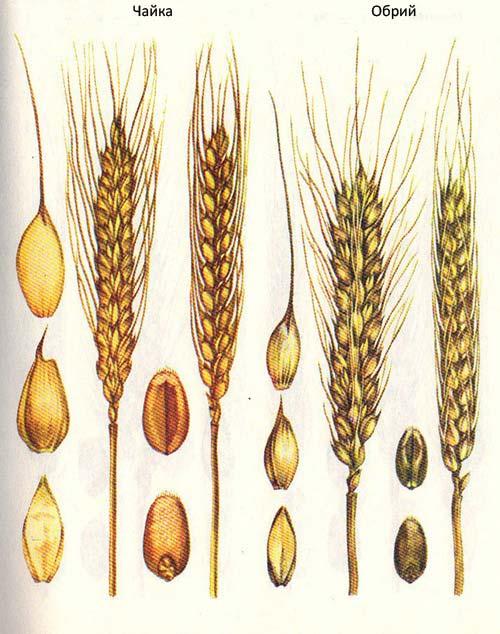Короткостебельные сорта озимой пшеницы: Чайка; Обрий