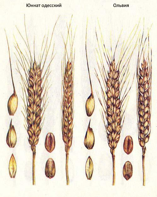 Короткостебельные сорта озимой пшеницы: Юннат одесский; Ольвия