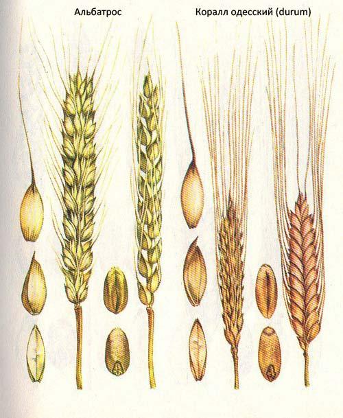 Короткостебельные сорта озимой пшеницы: Альбатрос; Коралл одесский (durum)