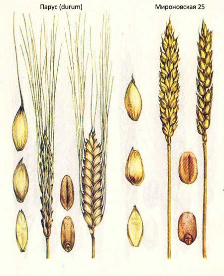 Короткостебельные сорта озимой пшеницы: Парус (durum); Мироновская 25